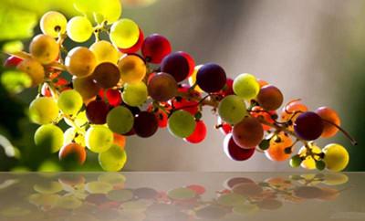 """万""""葡""""世界:多姿多彩的酿酒品种"""